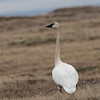 Tundra Swan (Alaska)