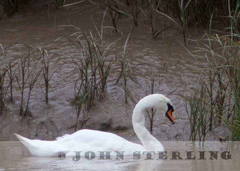 Mute Swan (United Kingdom)