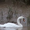 Mute Swan (United Kingdom)