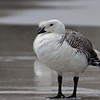 Upland Goose (Falkland Islands)