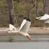 Coscoroba Swan (Paraguay)