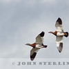 Ashy-headed Goose (Tierra del Fuego)