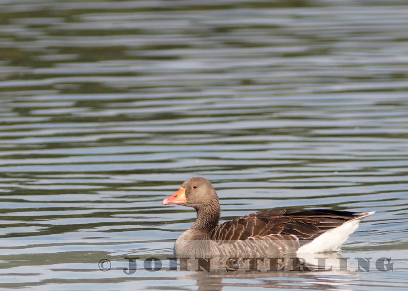 Graylag Goose (United Kingdom)