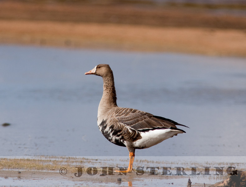 Tule Greater White-fronted Goose