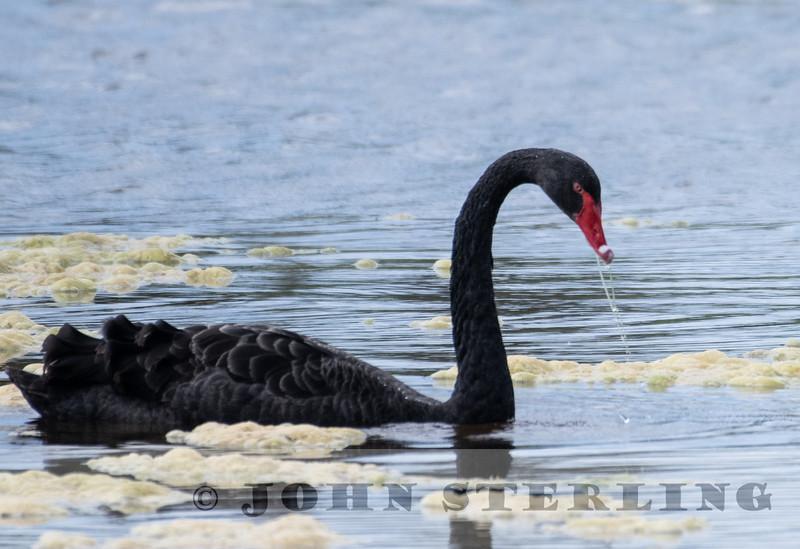 Black Swan (Australia)