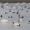 Whooper Swan (China)