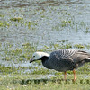 Emperor Goose (California)