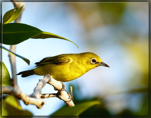 Canary White-eye