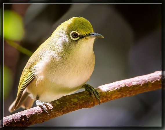 Christmas White-eye