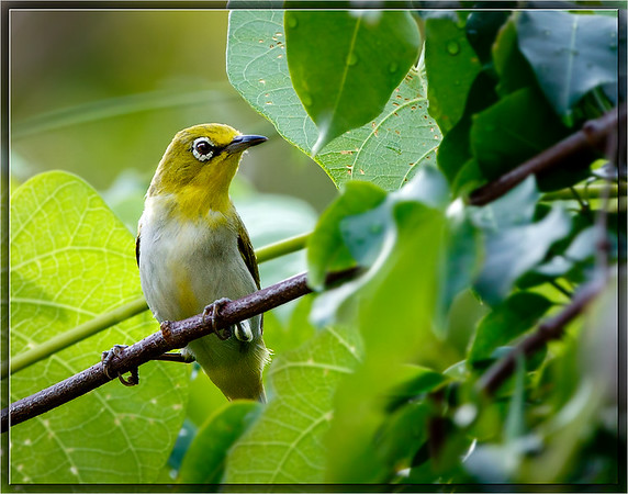 Ashy-bellied White-eye