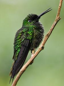 Wet Humingbird