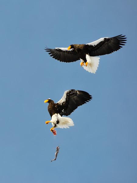 Steller's Sea Eagle Kleptoparasitism #2