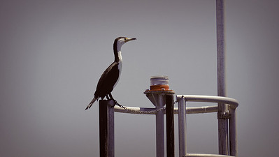 Chained Cormorant