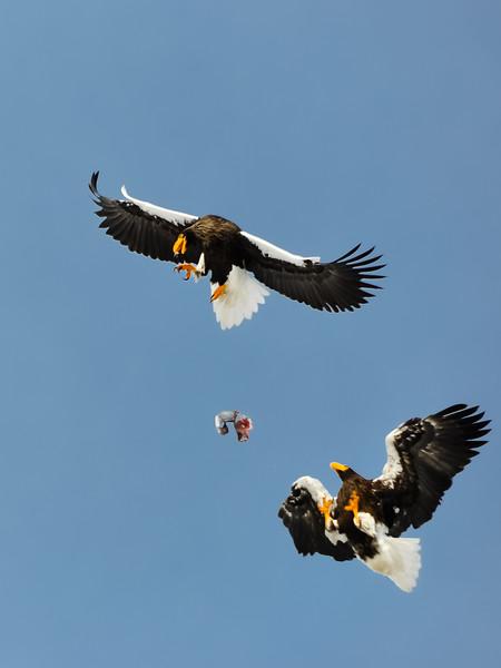 Steller's Sea Eagle Kleptoparasitism #1