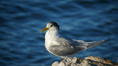 Crested Tern1