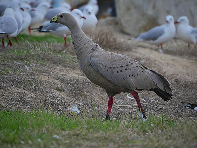 Cape Barren Goose1