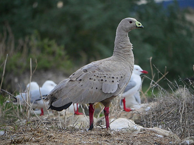 Cape Barren Goose2
