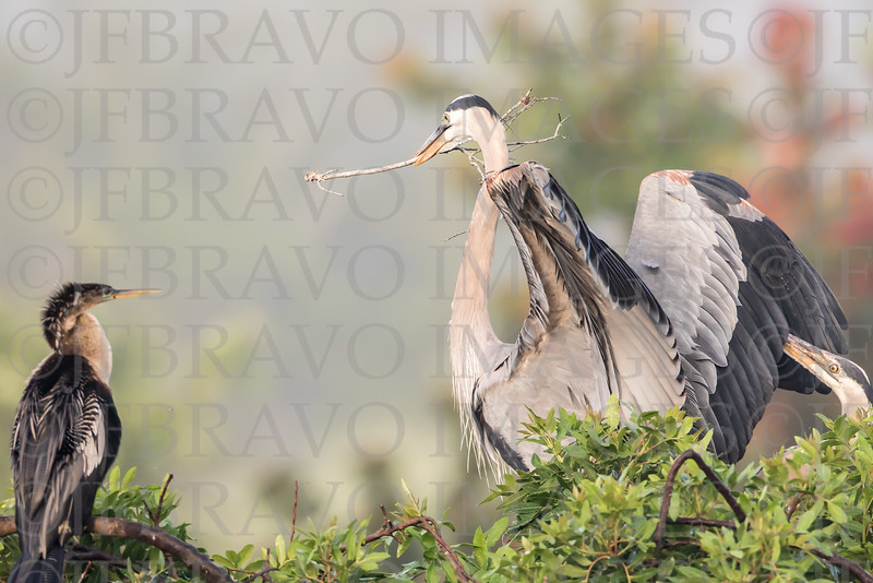 Anhinga and Heron