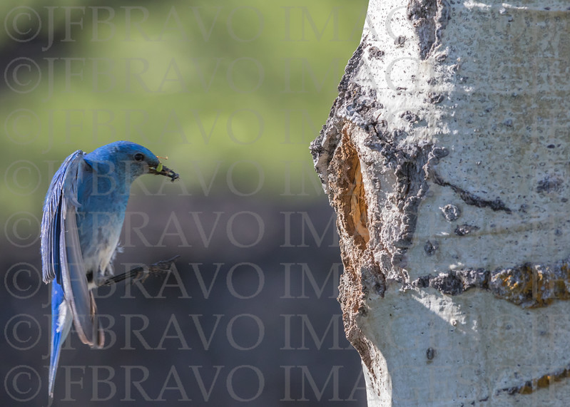 Male Blue Bird