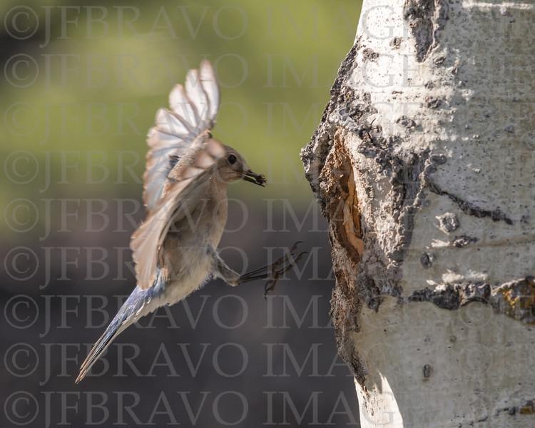 Female Blue Bird