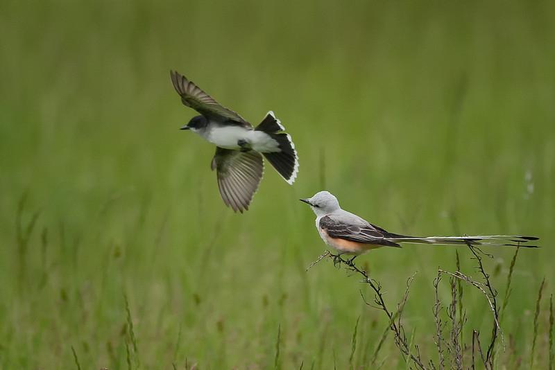 Scissor Tailed Flycatcher/ Western Kingbird