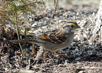 White-throated Sparrow1