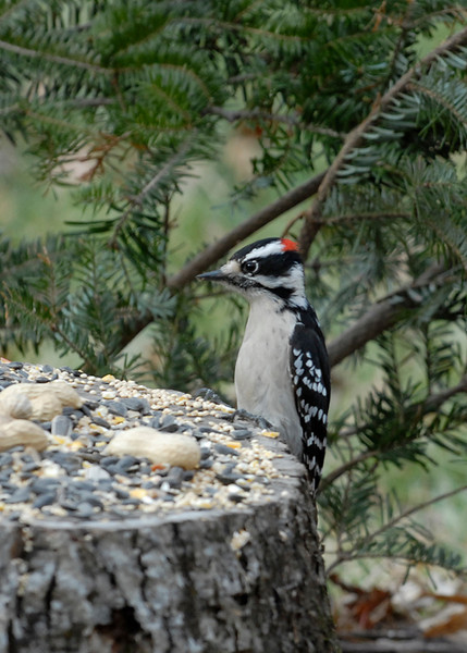 Hairywoodpecker1