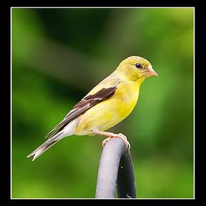 Goldfinch082412-3692
