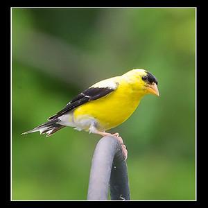Goldfinch082412-3697