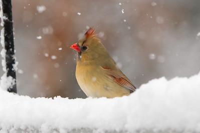 BirdsSnow030613-5004