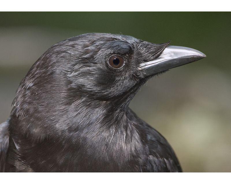 crow1907-14x20