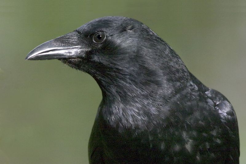 crow9324-8x12