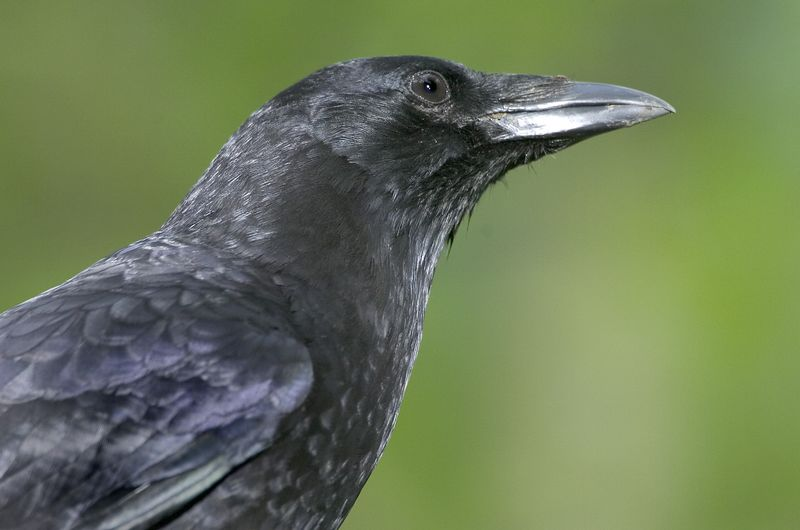 crow10193-8x12