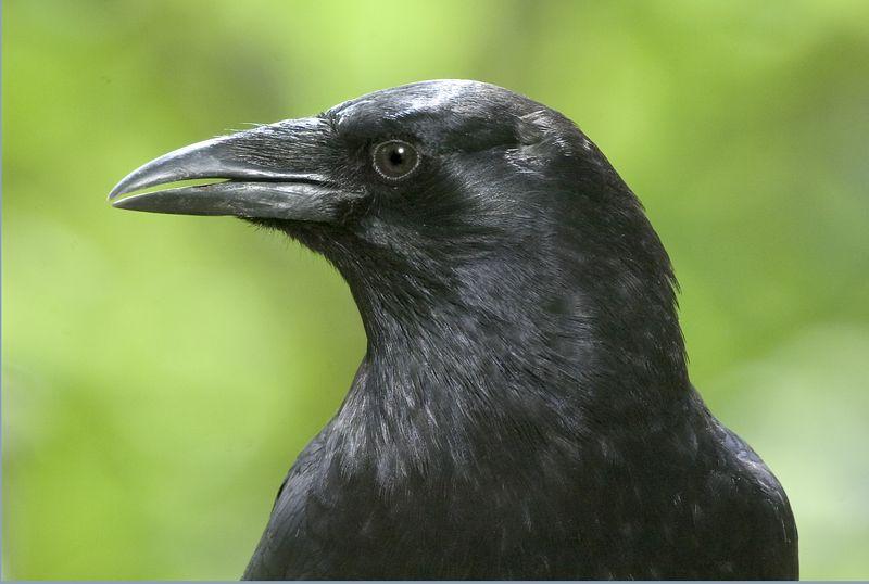 crow10040-8x12