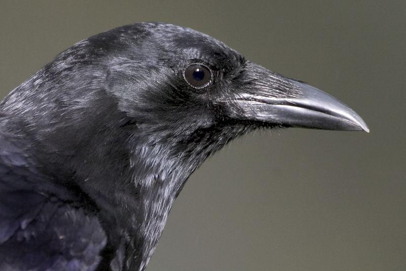 crow10390-8x12