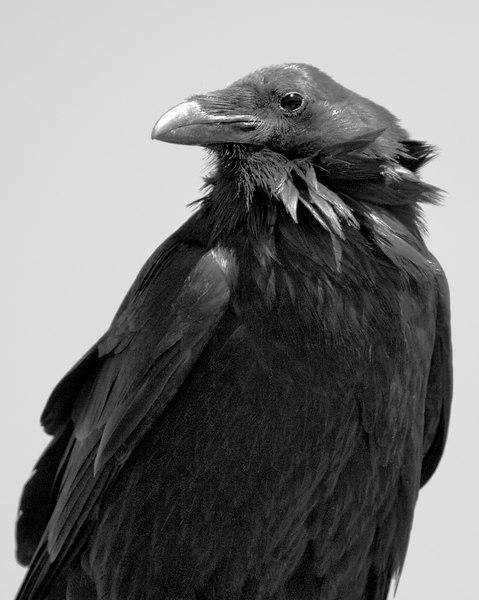 Raven014578B-8x10