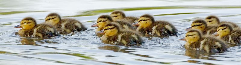 duckling0348-3x12