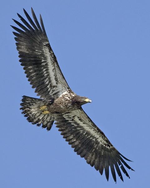Eagle16389-8x10