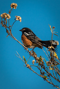 California Spotted Towhee