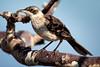 Galapagos Mockingbird-2