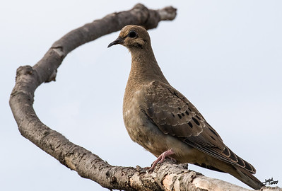 Dove on Branch