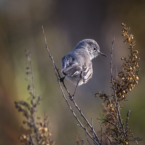 BlueGray Gnatcatcher
