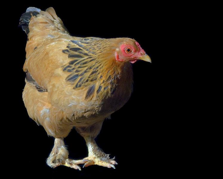 Chicken20058E-8x10
