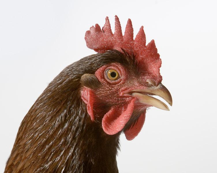 Chicken20118-8x10