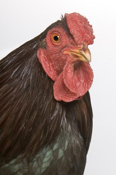 Chicken19836-8x12