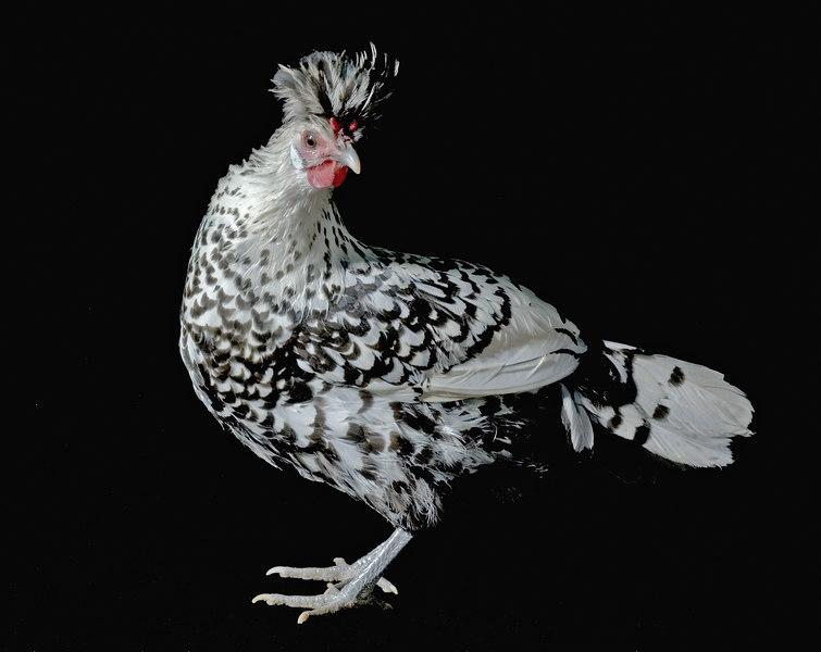 Chicken20011-8x10