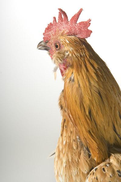 Chicken19907C-8x12