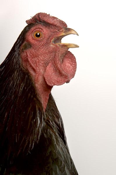Chicken19838-8x12