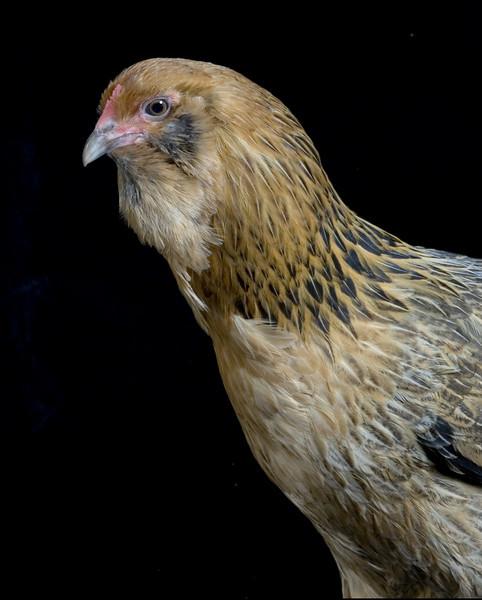 Chicken20030-8x10
