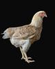 Chicken19987-8x10
